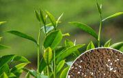 चाय : तीन हजार एक सौ पच्चीस रुपए प्रति किलो